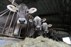 Azienda agricola delle mucche Immagine Stock Libera da Diritti