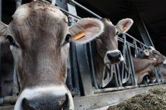 Azienda agricola delle mucche fotografie stock