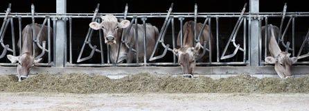 Azienda agricola delle mucche fotografia stock
