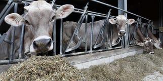 Azienda agricola delle mucche fotografie stock libere da diritti