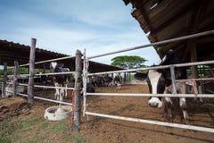 Azienda agricola delle mucche fotografia stock libera da diritti