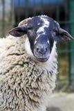 Azienda agricola delle pecore Immagine Stock