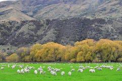 Azienda agricola delle pecore in Nuova Zelanda Fotografia Stock Libera da Diritti