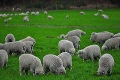 Azienda agricola delle pecore in Nuova Zelanda Immagini Stock Libere da Diritti