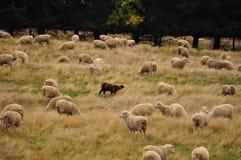 Azienda agricola delle pecore in Nuova Zelanda Immagine Stock