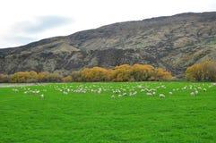 Azienda agricola delle pecore in Nuova Zelanda Fotografia Stock