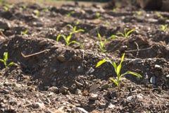 Azienda agricola delle piantine del cereale Immagini Stock