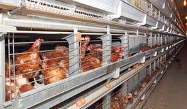 Azienda agricola delle uova fotografia stock