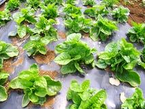 Azienda agricola delle verdure Immagini Stock