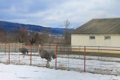 Azienda agricola dello struzzo Fotografie Stock