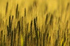 Azienda agricola di agricoltura - culture dei campi del grano Fotografia Stock