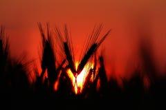 Azienda agricola di agricoltura - culture dei campi del grano nel tramonto Immagine Stock