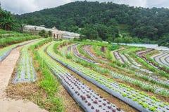 Azienda agricola di agricoltura del giacimento della fragola alla montagna Immagine Stock