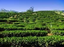 Azienda agricola di albero del tè, Nord della Tailandia Fotografia Stock