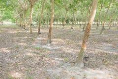 Azienda agricola di albero di gomma Immagini Stock