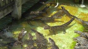 Azienda agricola di allevamento di Aligators nella Florida archivi video