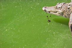 Azienda agricola di allevamento del coccodrillo Fotografia Stock Libera da Diritti