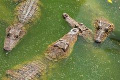 Azienda agricola di allevamento del coccodrillo Immagini Stock Libere da Diritti
