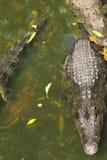 Azienda agricola di allevamento del coccodrillo in Siem Reap, Cambogia Immagine Stock