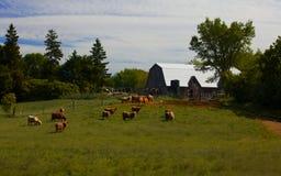 Azienda agricola di bestiame di Ontario fotografie stock