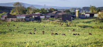 Azienda agricola di bestiame e pascolo verde alla primavera Fotografie Stock