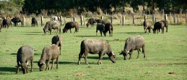Azienda agricola di Bufale Fotografia Stock Libera da Diritti