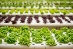 Azienda agricola di coltura idroponica Fotografia Stock Libera da Diritti