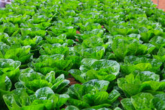 Azienda agricola di coltura idroponica delle verdure Fotografie Stock Libere da Diritti