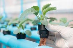 Azienda agricola di coltura idroponica delle verdure Immagine Stock Libera da Diritti
