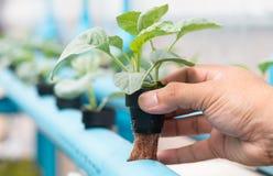 Azienda agricola di coltura idroponica delle verdure Fotografia Stock Libera da Diritti
