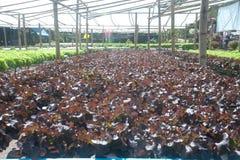 Azienda agricola di coltura idroponica in serra a Corofield, Tailandia Immagine Stock