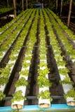 Azienda agricola di coltura idroponica in serra a Corofield, Tailandia Immagini Stock