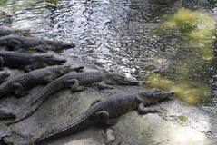 Azienda agricola di Crocodil Immagine Stock Libera da Diritti