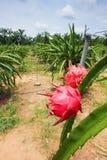 Azienda agricola di Dragonfruit Immagini Stock