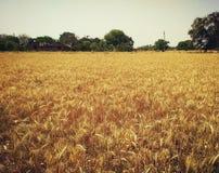 Azienda agricola di grano Fotografie Stock Libere da Diritti