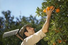 Azienda agricola di Harvesting Oranges In dell'agricoltore Fotografie Stock Libere da Diritti