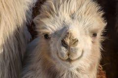 Azienda agricola di inverno del ritratto del cammello Fotografia Stock