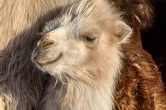 Azienda agricola di inverno del ritratto del cammello Fotografia Stock Libera da Diritti