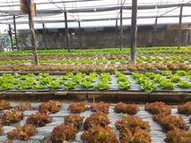 Azienda agricola di Lectuce Immagini Stock Libere da Diritti