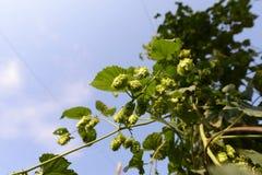 Azienda agricola di luppolo Fotografia Stock