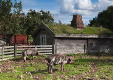 Azienda agricola di maiale Fotografie Stock