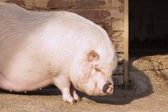 Azienda agricola di maiale Immagini Stock Libere da Diritti