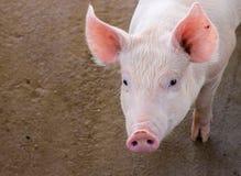 Azienda agricola di maiale Fotografia Stock