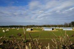 Azienda agricola di maiale Fotografie Stock Libere da Diritti