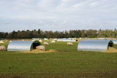 Azienda agricola di maiale Immagine Stock Libera da Diritti