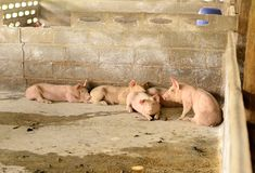 Azienda agricola di maiale commerciale di stile tailandese Fotografia Stock