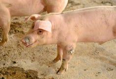 Azienda agricola di maiale commerciale di stile tailandese Fotografie Stock Libere da Diritti