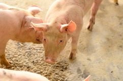 Azienda agricola di maiale commerciale di stile tailandese Fotografia Stock Libera da Diritti