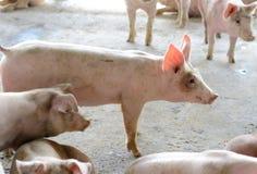 Azienda agricola di maiale commerciale di stile tailandese Immagini Stock Libere da Diritti