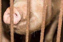 Azienda agricola di maiale del naso Fotografie Stock Libere da Diritti